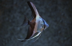 "Pterophyllum scalare ""Bicolor Blue Wide fin"""