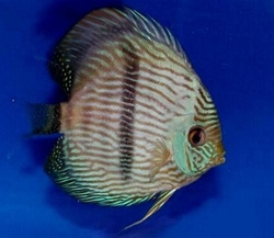 "Symphysodon discus ""Heckel Blue Face"" WILD"