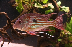 Geophagus winemilleri EU breed F1
