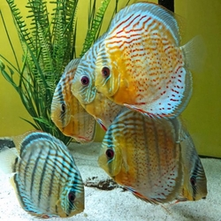 "Symphysodon tarzoo ""Tefe Green Full Red Spotted Discus"" WILD"