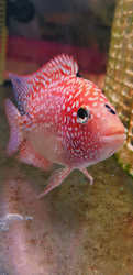 Cichlasoma sp. Flowerhorn Red Texas Full color Grade AAA