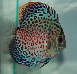 Symphysodon sp. Tefe Green Leopard Red spotted Ring