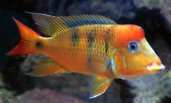 "Geophagus pellegrini ""Red Type"""