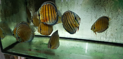 "Symphysodon aequifasciatus ""Lake Turere Blue/Rose Semi Royal"" Wild XXL"