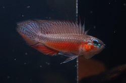 "Apistogramma elizabethae ""Super red"" EU breed"