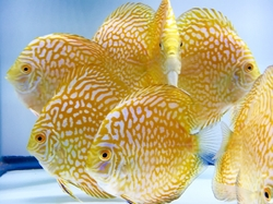 "Symphysodon sp. ""Golden Checkerboard Pidgeon Discus"""