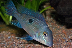 Geophagus parnaibae EU breed F1