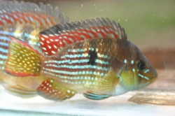 Geophagus rhabdotus EU breed rare