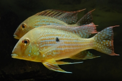 Geophagus neambi EU breed F1