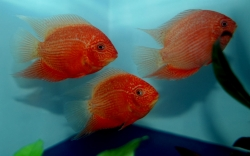 "Heros severum  ""Red Spotted"""