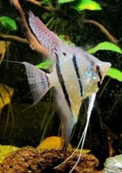 "Pterophyllum cf. altum ""Surinam Orange Blue"" Wild"