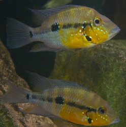 Thorichthys pasionis EU breed rare