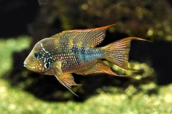 Thorichthys aureus EU breed rare