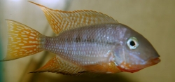 Thorichthys affinis EU breed rare