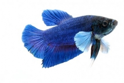 Betta splendens - Elephant Round Tail Dumbo Ear Female