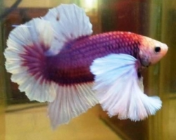 Betta splendens - Elephant Round Tail Dumbo Ear Male