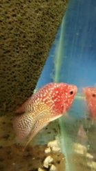 Cichlasoma sp. Flowerhorn Red Falcon Strawberry short body