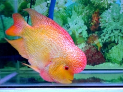 Flower horn cichlid gold