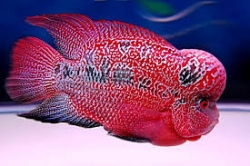 Flower horn cichlid red