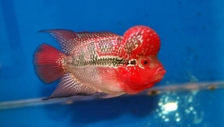 Cichlasoma sp. Flowerhorn Pearl Melon Super Red Big Hump