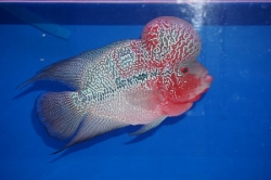 Cichlasoma sp. Flowerhorn Red Magma Big Hump