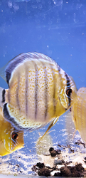 "Symphysodon tarzoo ""Tefe Green Royal Full Red Spotted Discus"" WILD"