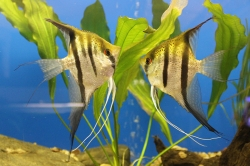 Pterophyllum cf. scalare Guyana Red Spotted F1