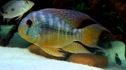 Gymnogeophagus balzani EU breed