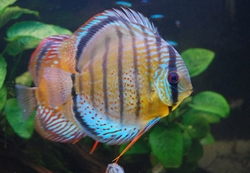"Symphysodon tarzoo ""Tefe Green Half Red Spotted Discus"" WILD"