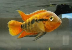 Heterotilapia multispinosa Orange