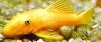 Ancistrus sp.GOLD black eye L144 CZNZ