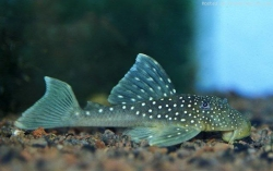 L - 128 Hemiancistrus sp. Blue Phantom