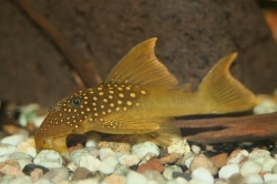 L200 Baryancistrus demantoides High Fin  Wild