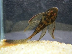 Ancistrus sp. lda 16 long fin