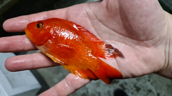 Cichlasoma sp. Red Mammon Grade A