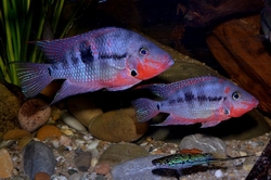 "Thorichthys meeki ""Rio Candelaria"" German breed  4-6 cm"
