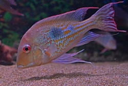 Geophagus megasema EU breed F1