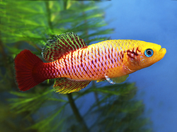 Nothobranchius guentheri gold