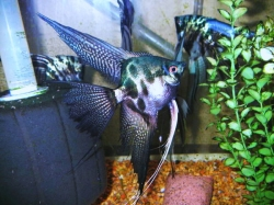 "Pterophyllum scalare ""Blue Pinoy Clown"""