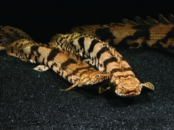 Polypterus endlicheri