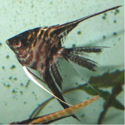 Pterophyllum scal. marble l.f.