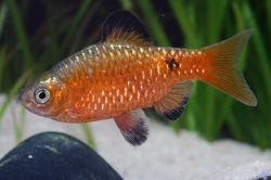 Puntius conchonius orange color