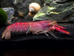 "Cherax sp. ""Red Brick Papua"""
