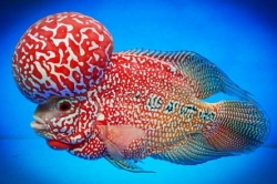 Cichlasoma sp. Flowerhorn Red Star Texas NEW