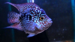 Cichlasoma sp. Flowerhorn Red Texas short body start color