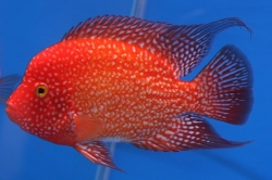 Cichlasoma sp. Flowerhorn Red Texas start color
