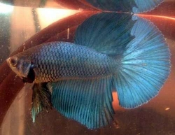 Betta splendens- Super Delta Male