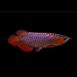 "Scleropages formosus ""Violet Fusion Super Red"" XL"