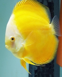 "Symphysodon sp. ""Yellow Melon Discus"""
